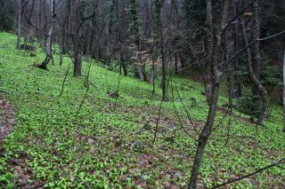 Slovenia, slope in a forest with Bear's Garlic. Photo Stinze Stiens, 31.03.2018.