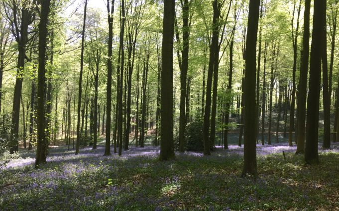 Bluebells in the Brakel forest (Belgium).