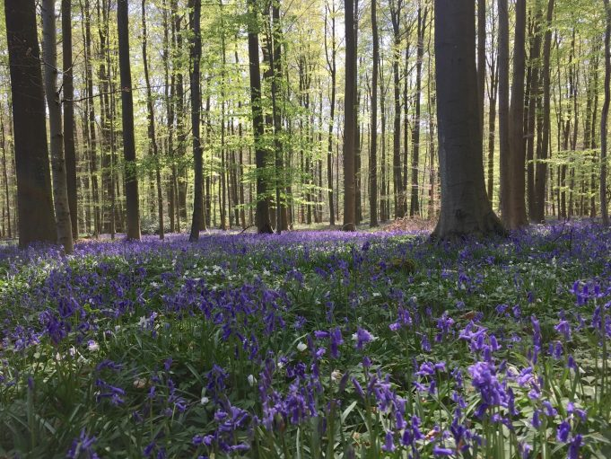 Bluebells and Wood Anemones in the Halle forest (Belgium).