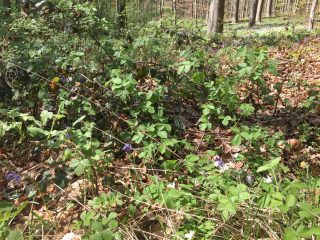 Blackberries with Bluebells and Wood Anemones in between in the Halle forest (Belgium).