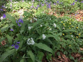 Bear's Garlic and Lesser celandine in a more humid part of the Halle forest in Belgium.
