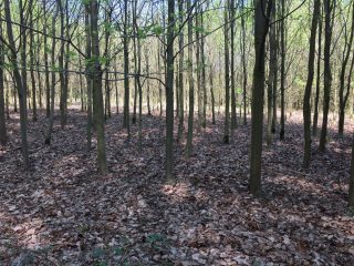 Dense stocks with young Beech trees in het Halle forest (Belgium) without any vegetation of Bluebells.