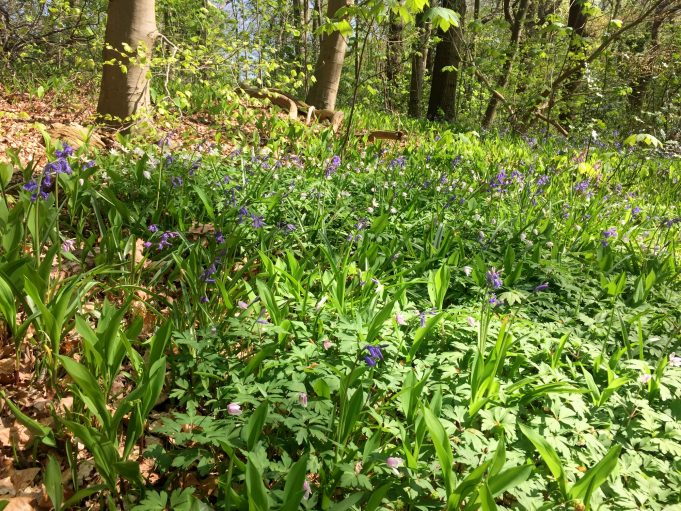 Bluebells, Wood Anemones and leaves of Lily-of-the-valley in Park Sorghvliet in The Hague.