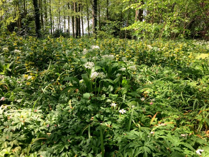 Bear's Garlic, Wood Anemone and Yellow Archangel in park Sypesteyn near Loosdrecht.