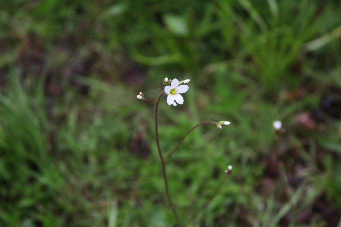 Meadow Saxifrage at Pakhûs SOLO in Stiens.