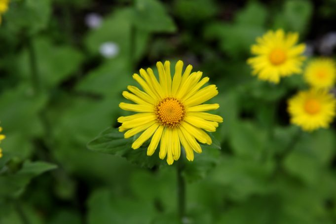 Flower of the Leopard's-bane (Doronicum pardalianches) at Stinze Stiens.