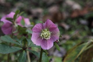 Helleborus at Stinze Stiens.