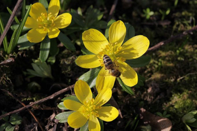 A bee enjoys the Winter Aconites at Stinze Stiens.
