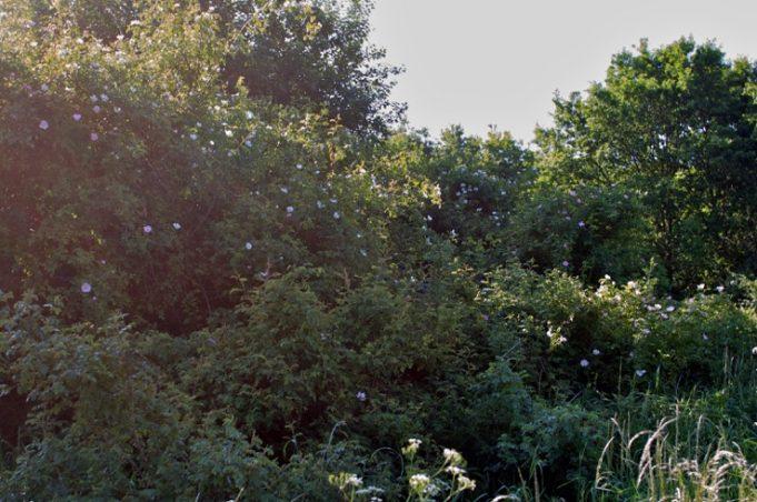 rozenstruweel Rosa canina, sanctuarium, herman de vries, 2001/2009.