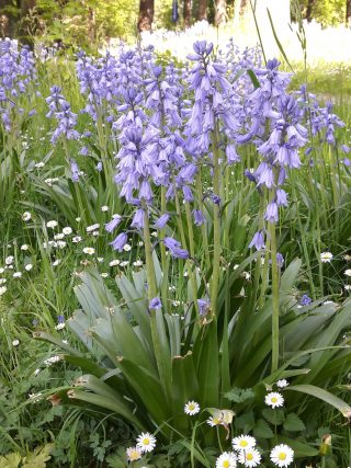 Spanish hyacinth (Hyacinthoides hispanica) shows nicely above the grass at Hackfort.