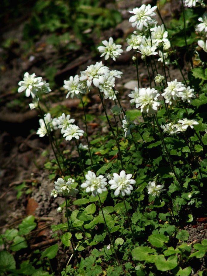 Haarlems klokkenspel (Saxifraga granulata var. plena)