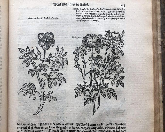 Lobel 1581