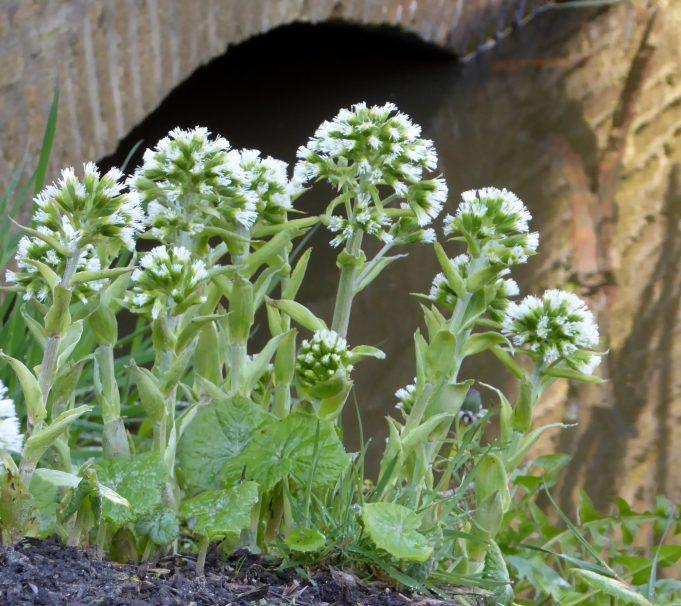 White Butterbur. Photo: Schierstins.