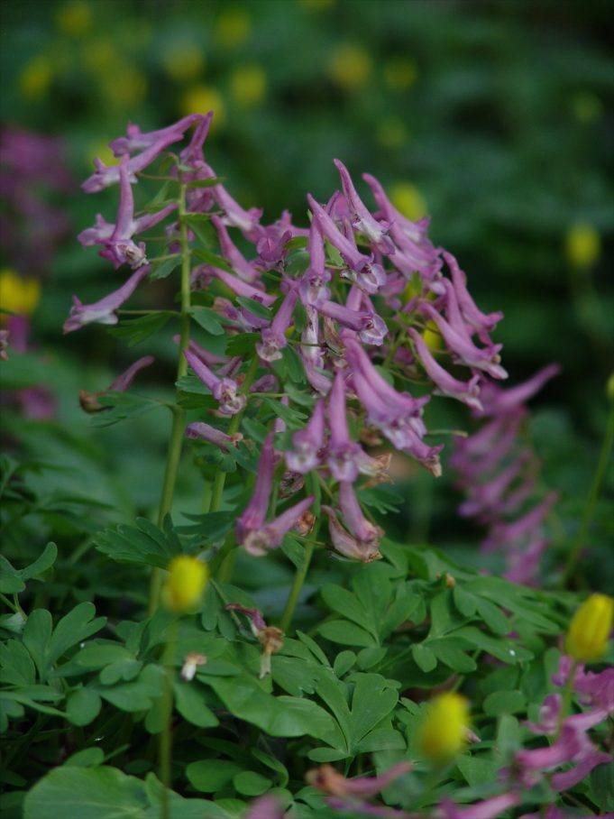 Voorjaarshelmbloem (Corydalis solida)