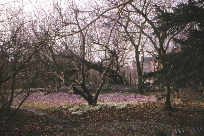 Bij de storm van november 1972 omgevallen Kaukasische vleugelnoot.