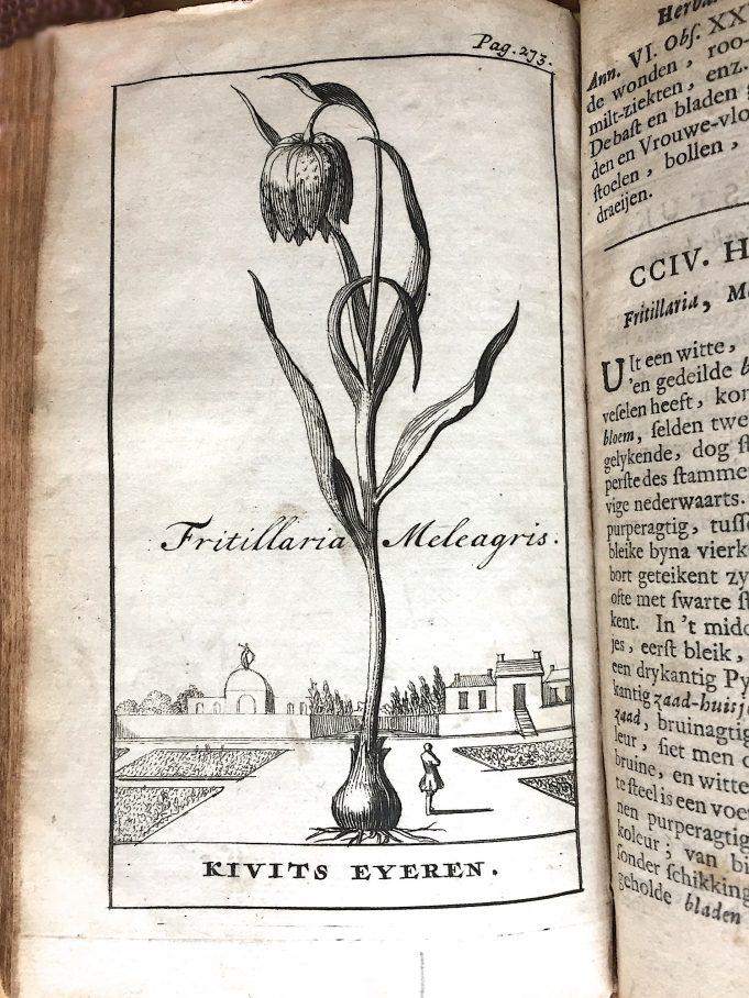 'Kivits Eyeren' in: Stephanus Blankaart, Den Nederlandschen Herbarius, 1698.