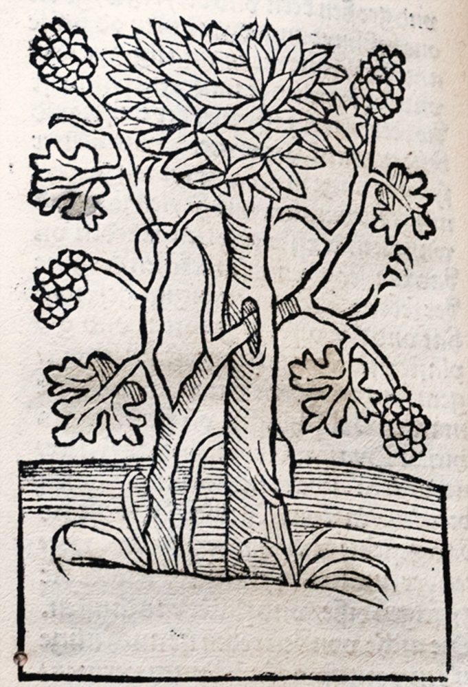 Petrus de Crescentiis, Ruralia commoda. 1493. Druivenrank door boom gevlochten.