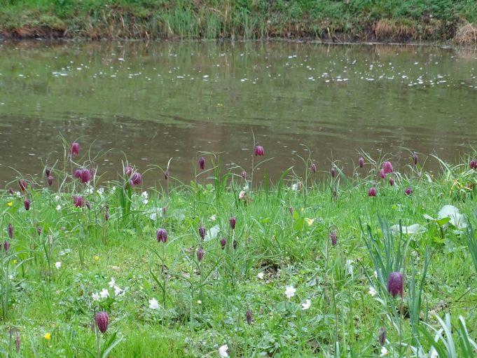 Kievitsbloemen langs de Hackfortse beek.