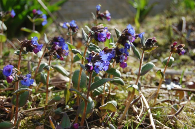 Mountain Lungwort in bloom with deep blue flowers at the Schierstins.