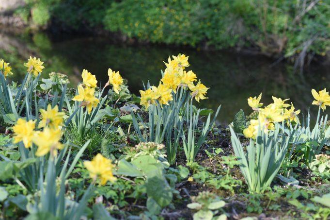Narcis 'Von Sion', Pastorietuin, Easterein