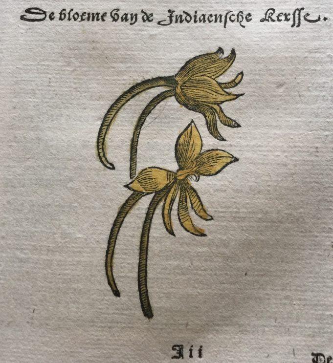 De bloeme van de Indiaensche kersse. Dodoens 1644