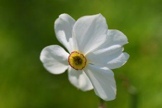 Phaesant's Eye (Narcissus poeticus). Pastorietuin, Easterein.