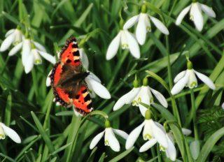 De Kleine Vos, de eerste vlinder dit voorjaar bij Stinze Stiens. Foto: Dina van der Meulen.