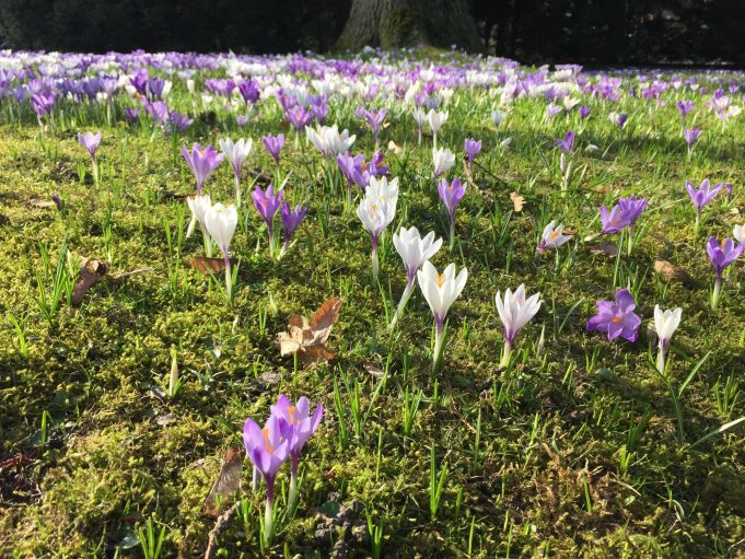 Crocus vernus op het Alten Friedhof in Husum (D)
