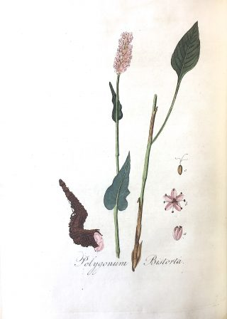 Adderwortel (Persicaria bistorta), vroeger Polygonum Bistorta in: J. Kops, Flora Batava, Amsterdam (J.C. Sepp en zoon), dl. IV, 1822.