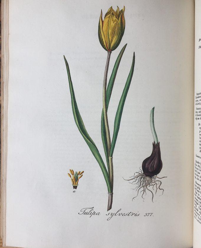 Flora Batava, deel V, afb. 377,