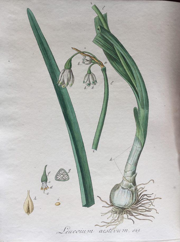 Zomerklokje ('Zomer Witbloem') in: J. Kops en J.E. van der Trappen, Flora Batava dl. IX, Amsterdam (J.C. Sepp en Zoon) 1846.