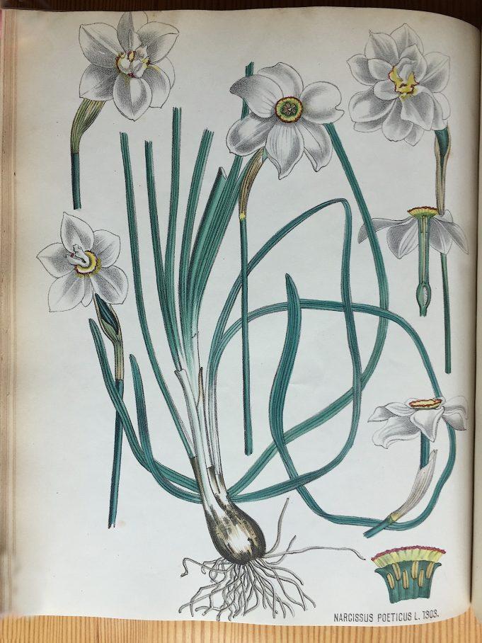 Dichtersnarcis (Narcissus poëticus), Flora Batava