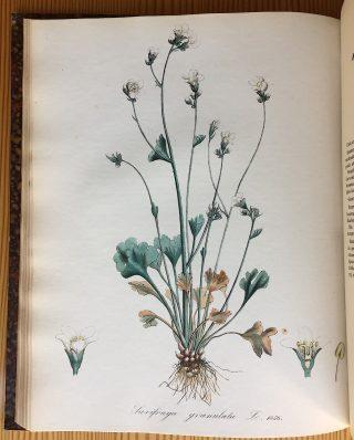 Saxifraga granulata, Flora Batava 1872