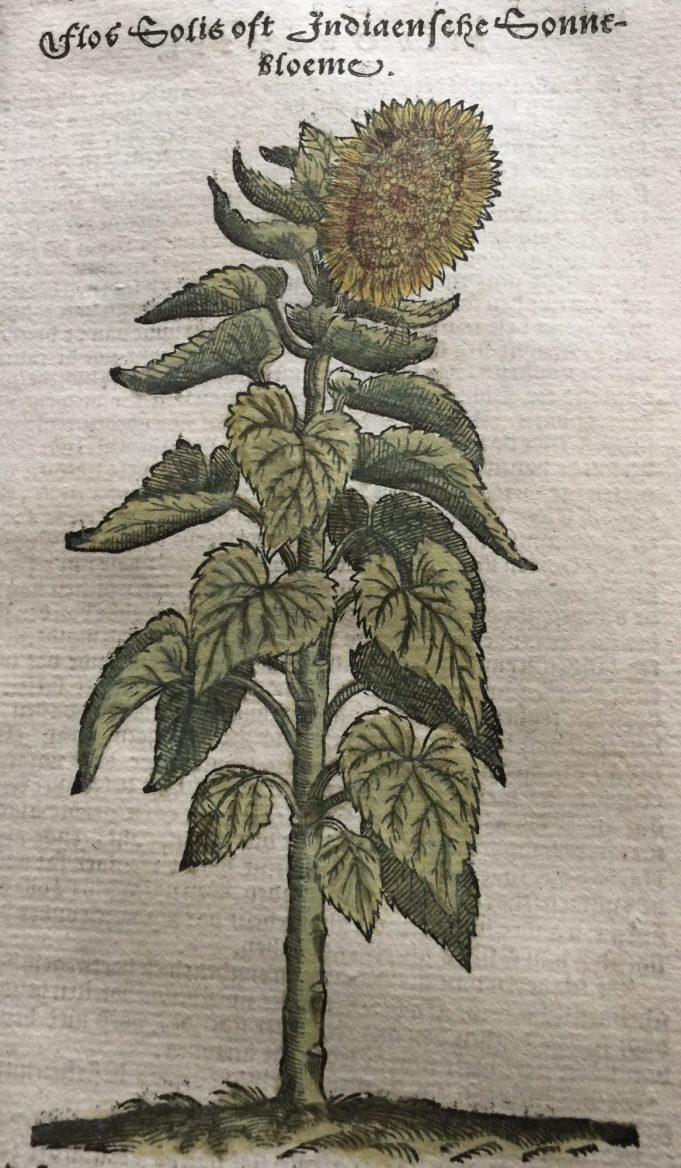 Flos Solis. Dodoens 1644