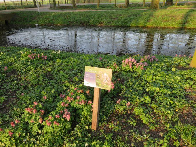 De bloeiende Voorjaarshelmbloem in Park Jongemastate.