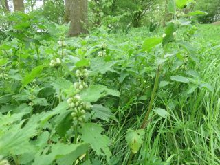 White Dead-nettle in Park Jongemastate.