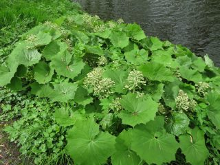 White Butterbur in Park Jongemastate.