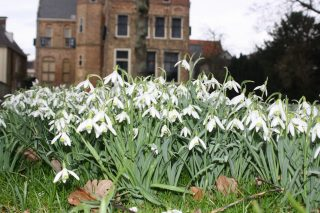 Snowdrops (Frysian: Liderke) already in full bloom in the Martenatuin (Franeker) on 29 January.