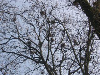 Roekennesten in de bomen op Jongemastate.