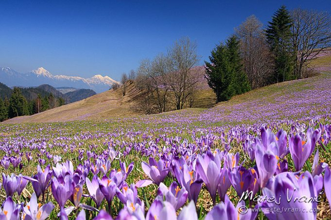 Crocussen in Slovenië