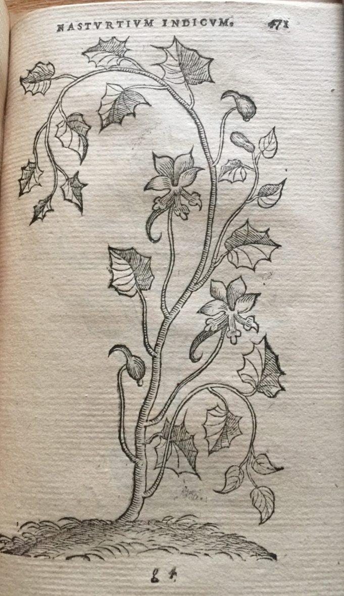 Nasturtium Indicum. Dodoens 1574