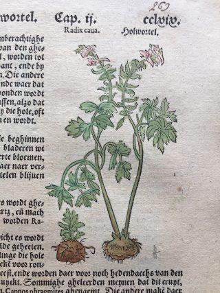 Holwortel in Dodonaeus, 1563