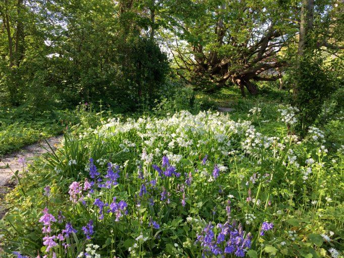 Wilde hyacint in rose en blauw. Achtergrond de witte Allium triquetrum. Stinze Stiens.