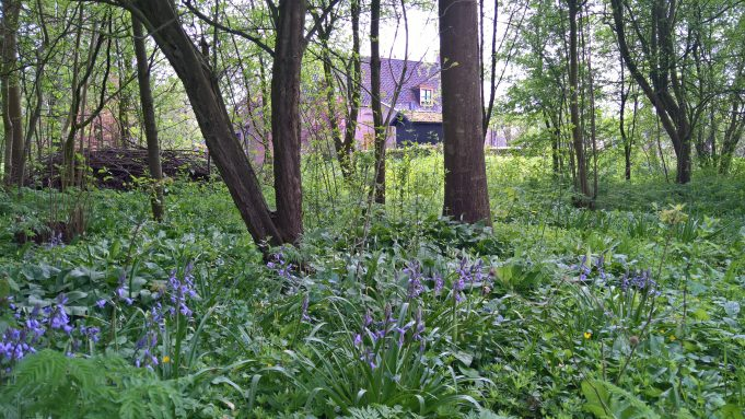 The Bluebells start flowering at Dekema State.