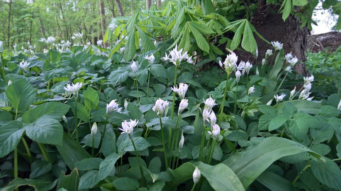Fields of fast growing Bear's Garlic (and Ground Elder, also fast growing) in the forest near the Chestnut lane at Dekema State.