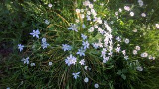 Vogelmelk in volle bloei op Dekema State