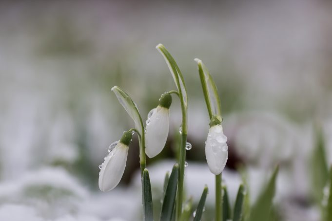 Melting snow on the Snowdrops at Martenstate.