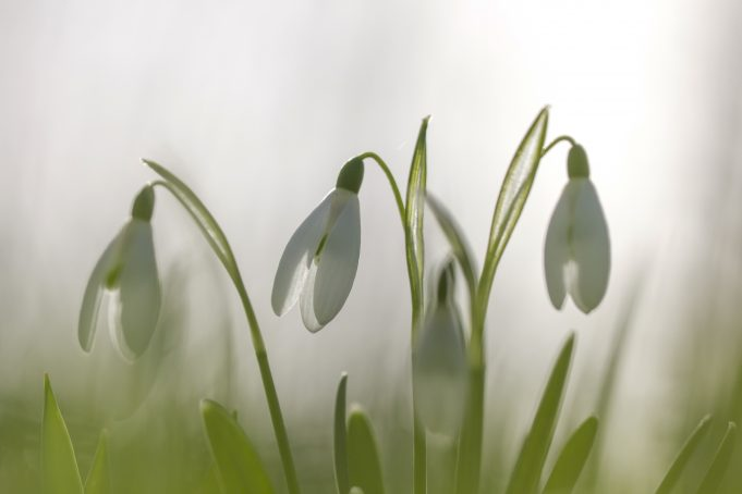 Snowdrops at Martenastate.
