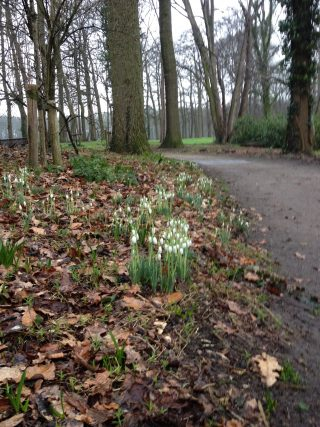 Snowdrops in the park forest at Hackfort.